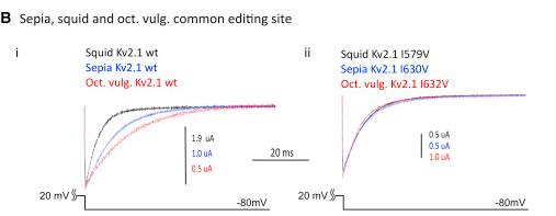 Conserved and Species-Specific Editing Sites Affect Protein Function Unedited (WT) and singly edited versions of the voltage-dependent K+ channels of the Kv2 subfamily were studied under voltage clamp. (B) (i) Tail currents measured at a voltage (Vm) of −80 mV, following an activating pulse of +20 mV for 25 ms. Traces are shown for the WT Kv2.1 channels from squid, sepia, and Octopus vulgaris. (ii) Tail currents for the same channels edited at the shared I-to-V site in the 6th transmembrane span, following the same voltage protocol.