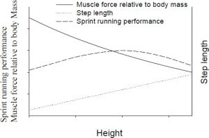 Figure 1. Theoretical relationship between muscle force, step length and sprint running performance versus height. Relationship between muscle force relative to body mass and height (solid line). Step length versus height (dotted line). Sprint running performance versus height (dashed line).
