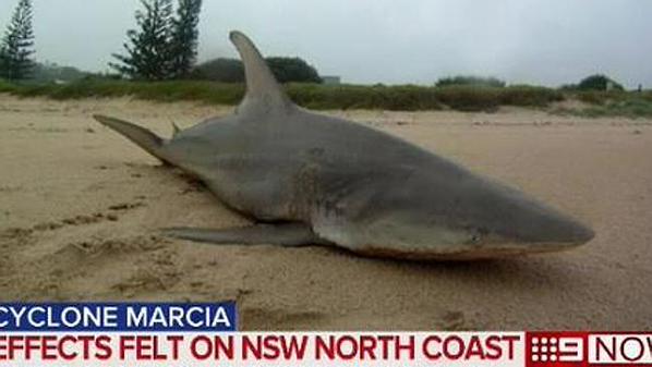 shark cyclone marcia