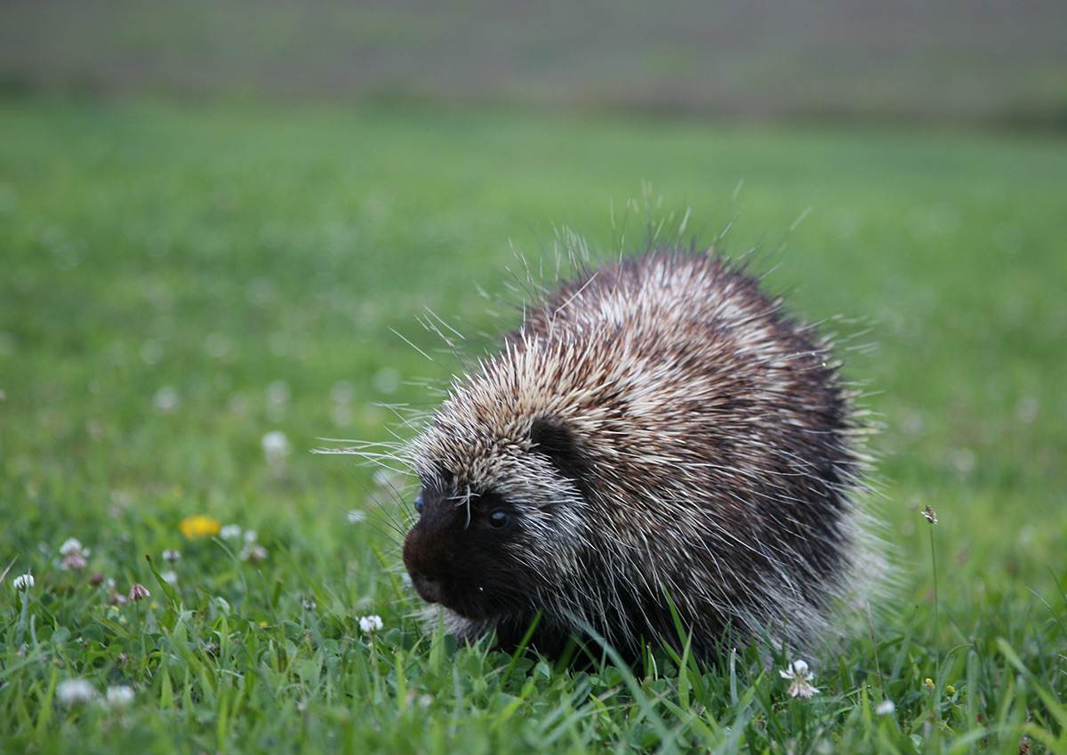 A young adult porcupine
