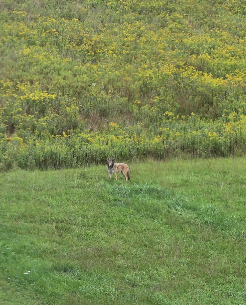 Momma Coyote