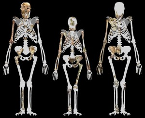 739px-Australopithecus_sediba_and_Lucy
