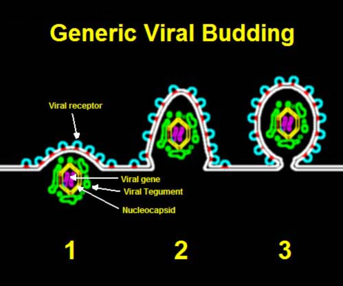 Budding_of_generic_virus,_pictorial_represent